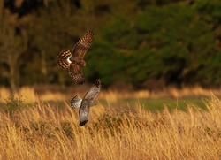 """Mating pair of Northern Harriers (Circus hudsonius) flying together over a meadow in Florida, female brown, male grey """"grey ghost"""""""