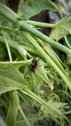 Mating Philippine beetles (Pachyrrhynchus pinorum).