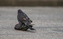 Mating pigeons. Couple of pigeons stick together on the road.