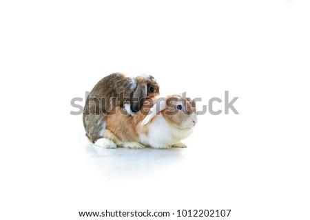 mating rabbit.. mini lop ear...