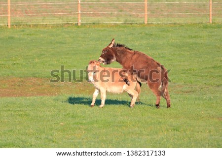 Mating season and a donkey mounts his female companion during the courtship.  #1382317133