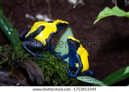 Mating season Citronella Dyeing Poison Dart Frog (Dendrobates tinctorius) in the dark, animal closeup Stock foto ©