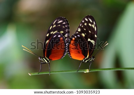 Mating season. Close-up of paar tropical butterflies dido longwing on the leaf. Macro photography of wildlife.