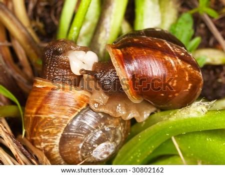 Mating snails. Extreme close-up shot - stock photo