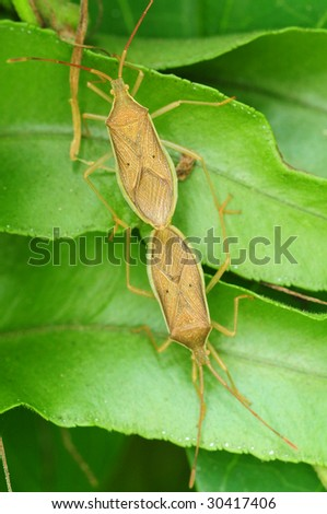 Mating Stink Bugs