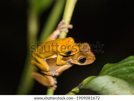 Mating Treefrogs Rainforest Costa Rica Foto stock ©