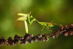 Matins eating mantis, two green insect praying mantis on flower, Mantis religiosa, action scene, Czech.