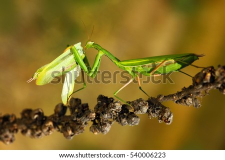 Matins eating mantis, two green insect praying mantis on flower, Mantis religiosa, action scene from Czech republic. #540006223