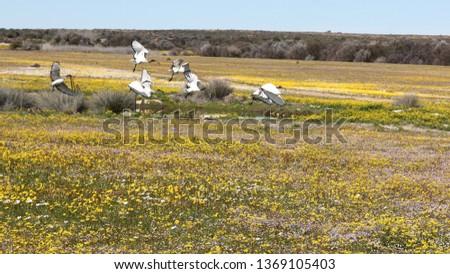 Matjiesfontein wild flowers
