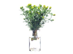 Matricaria discoidea (wild chamomile or disc mayweed) in a glass vessel with water
