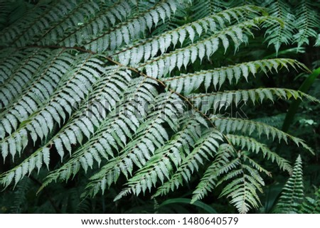 Matteuccia is a genus of ferns with one species, Matteuccia struthiopteris (common names ostrich fern, fiddlehead fern or shuttlecock fern). #1480640579