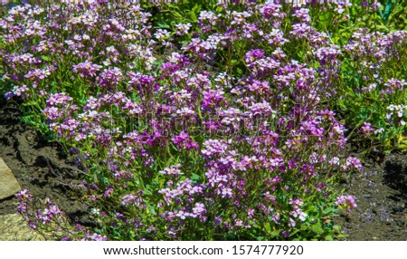 Matthiola longipetala, known as night-scented stock or evening stock syns Cheiranthus longipetalus, Matthiola bicornis,  longipetala subsp. bicornis, and  oxyceras, is a species of ornamental plant. #1574777920