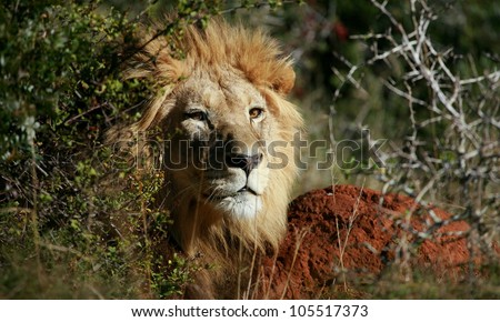 mature adult male lions soaking up the golden sun,in this beautifull profile head portrait taken in Addo Elephant national park,eastern cape,south africa