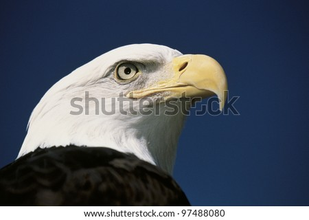 Mature American bald eagle
