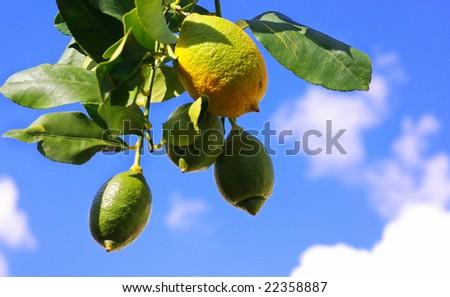 Mature and green  lemons.