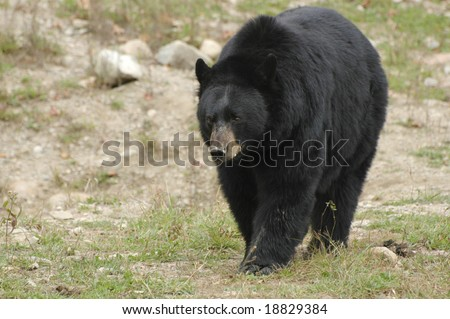 Mature black bear