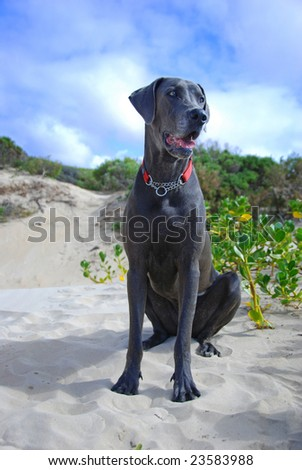 Mature blue great dane dog on the beach