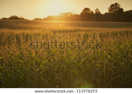 Mature corn photographed at sundown