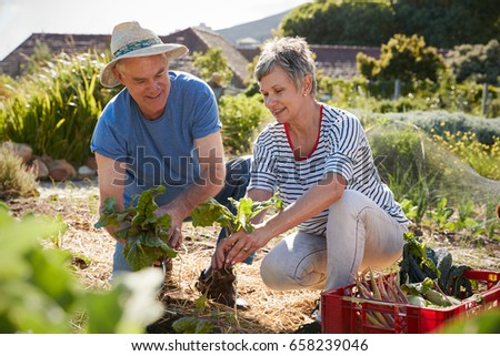 Mature Couple Harvesting Beetroot On Community Allotment #658239046