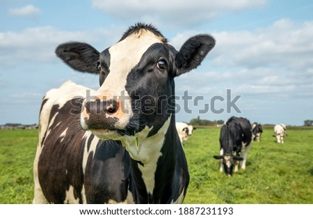 Mature cow, black and white curious gentle surprised look, in a green field, blue sky