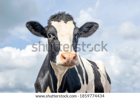 Mature cow, black and white gentle surprised look, pink nose, in front of  a blue sky.