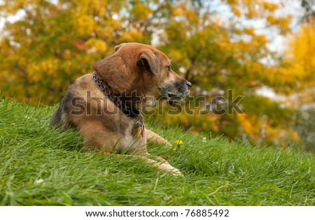 mature dog that was adopted from a shelter sitting in the grass with a yellow Autumn tree in the background