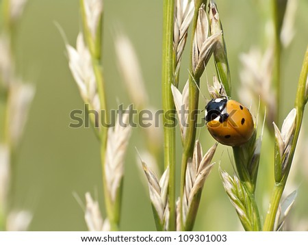 mature ear, and ladybug