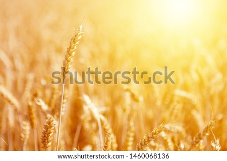 Mature ear of wheat at golden sunrise against blurry background #1460068136