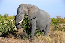 Mature elephant in it's natural environment