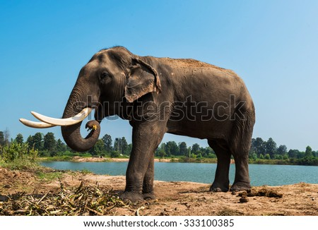 Mature elephant with long tusks