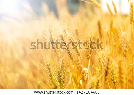 Mature golden wheat in the wheat field