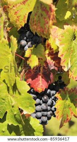 mature grape-vine wait the harvesting in France