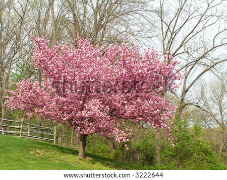 cherry tree mature singles Fruit tree and berry plants seasonal schedule contact us menu fruit tree and berry plants cherry trees standard size, mature height 15-25.