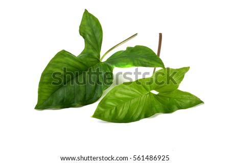 mature leaf #561486925