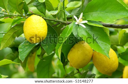 Mature lemons on tree.