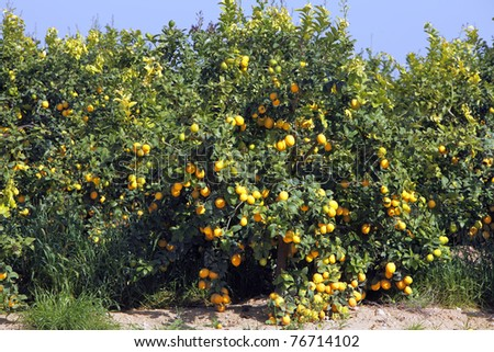 Mature lemons on trees
