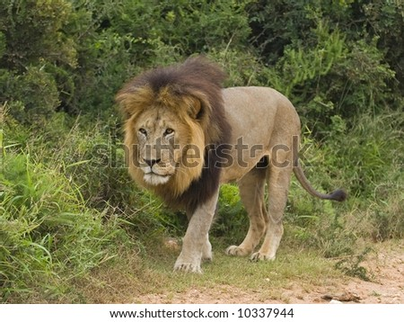 Mature Male Lions are an impressive sight for sure