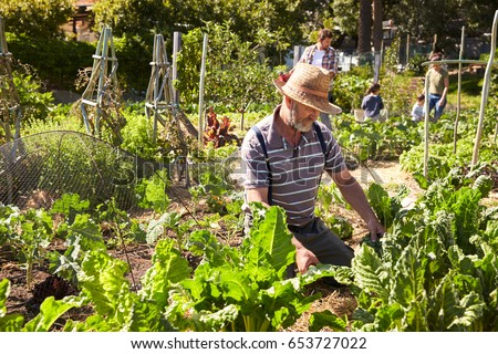 Mature Man Working On Community Allotment #653727022