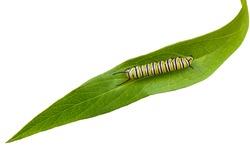 Mature Monarch Caterpillar on green swamp milkweed leaf