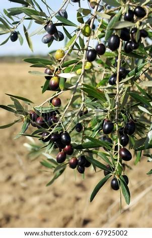 Mature olives on tree.