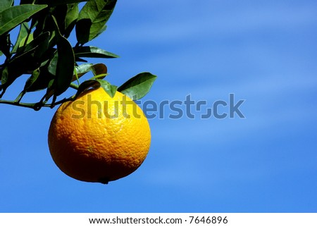 Mature orange on tree.
