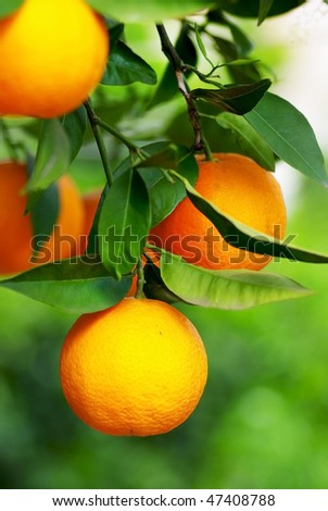 Mature oranges on tree. - stock photo