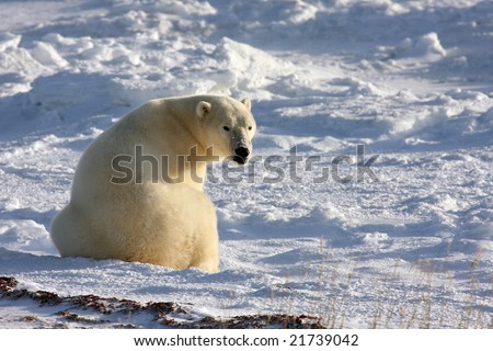 Mature polar bear searching for food in the arctic snow near Churchill, Manitoba - stock photo
