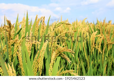 Mature rice in rice field,  The rice fields are under the blue sky. The rice is growing in the field