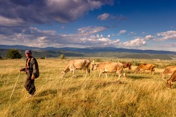 Mature shepherd man with his flock of cows on a rural pasture. Carpathian mountains. Ukraine.