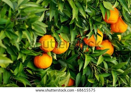 Mature tangerines on tree.
