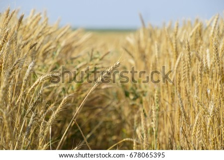 Mature wheat on the field. Spikelets of wheat. Harvest of grain. The path between the spikelets of wheat. #678065395