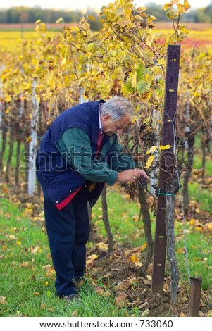 mature winemaker checking the rows of wine grapes