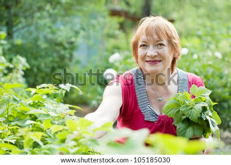 Mature woman gathers raspberry leaves in spring garden - stock photo