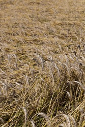 Mature yellowed cereals on agricultural land, farming for yield and profit, money in agriculture for food production